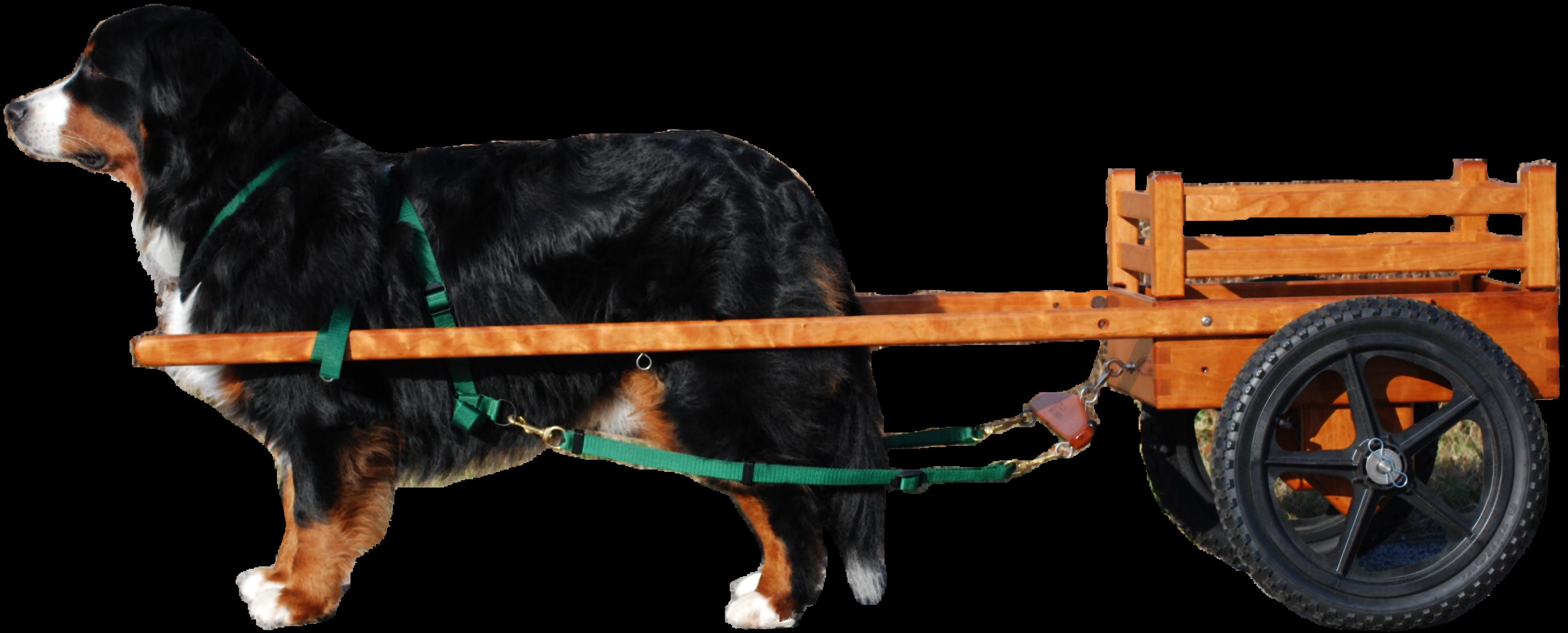 Hausful Bernese Mountain Dogs
